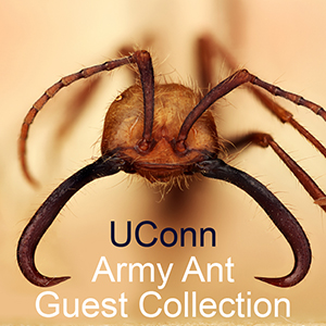 Linked to Army Ant Guest Collection Facebook page