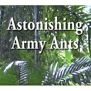 Link to Army Ant video page