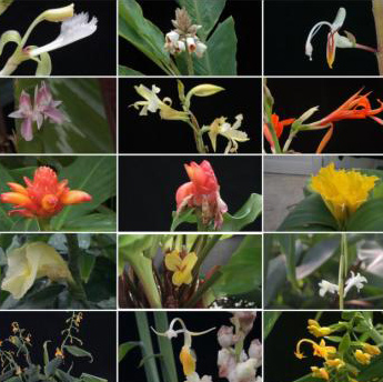 Suite of flower pictures of the ginger family