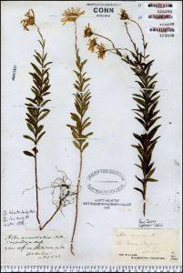 Herbarium specimen of Aster nemoralis, a rare species