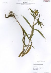 Image of a pressed plant on an herbarium sheet.