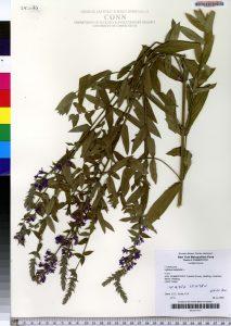 Herbarium specimen of purple loosestrife