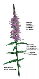 Enhanced image of Purple Loosestrife stem and flowers showing flower arrangement in a spike, opposite, alternate, or whorled leaves, and square stem.